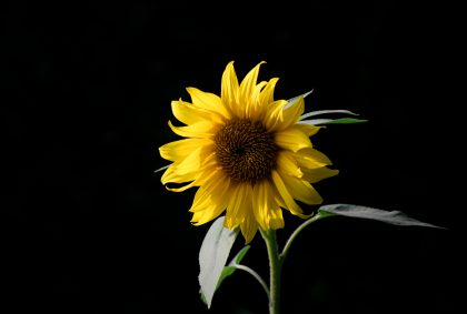 yellow sunflower in front of black background